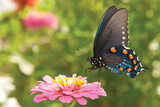 Green Swallowtail Butterfly Feeding On A Pink Zinnia In Sunny Summer Garden Plastic Sign by Sari ONeal