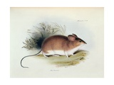 Mus Darwinii, Illustration from 'The Zoology of the Voyage of H.M.S. Beagle, 1832-36' Giclee Print by Charles Darwin