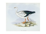 Anser Melanopterus, from 'The Zoology of the Voyage of H.M.S. Beagle 1832-36' Giclee Print by Charles Darwin