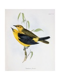 Pair of Xanthornus Flaviceps, Illustration from 'Zoology of the Voyage of H.M.S. Beagle, 1832-36' Giclee Print by Charles Darwin
