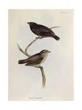 Pair of Geospiza Parvula, Illustration from 'The Zoology of the Voyage of H.M.S. Beagle, 1832-36 Giclee Print by Charles Darwin