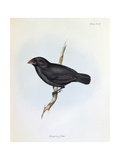 Geospiza Fortis, Illustration from 'The Zoology of the Voyage of H.M.S. Beagle, 1832-36 Giclee Print by Charles Darwin