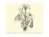 Liliaceae of Sacsahuaman, Amaryllis Aurea, Crinum Urceolatum, Pancratium Recurvatum Giclee Print by Édouard Riou