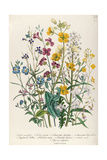 Forget-Me-Nots and Buttercups, Plate 13 from 'The Ladies' Flower Garden', Published 1842 Giclee Print by Jane W. Loudon