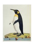 Aptenodytes Patagonica' Giclee Print by John Frederick Miller