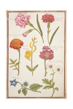 Pd.109-1973.F2 Two Carnations, French Marigold, Spanish Broom, Double Stock, Borage and Maguerite Giclee Print by Nicolas Robert
