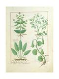 Euphorbia Lathyris Giclee Print by Robinet Testard
