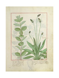 Mint and Plantain Giclee Print by Robinet Testard