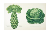 Harrisons' Improved Brussel Sprouts and Harrisons' Improved Drumhead Savoy Giclee Print