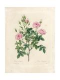 Rosa Pomponia Giclee Print by Pierre-Joseph Redouté