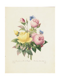 Variety of Yellow Roses and Bengal Roses Giclee Print by Pierre-Joseph Redouté