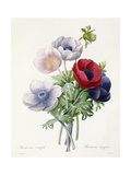 Anenome Simple Giclee Print by Pierre Joseph Redoute
