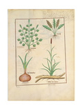 Illustration from 'Thedbook of Simple Medicines' by Mattheaus Platearius Giclee Print by Robinet Testard