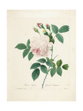 Rosa Indica Giclee Print by Pierre-Joseph Redouté