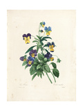 Pansy Giclee Print by Pierre-Joseph Redouté