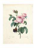 Hundred-Leaved Rose Giclee Print by Pierre-Joseph Redouté