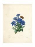 Stemless Gentian, from 'Choix Des Plus Belles Fleurs Et Des Plus Beaux Fruits', Vol. Ii, 1827-33 Giclee Print by Pierre-Joseph Redouté