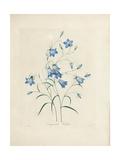 Bluebells, from 'Choix Des Plus Belles Fleurs Et Des Plus Beaux Fruits', 1827-33 Giclee Print by Pierre-Joseph Redouté
