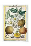Hermaphrodite Apricot Tree Giclee Print