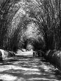 Walking Along Bamboo Avenue Between Middle Quarters and Lacovia, Jamaica, 1954 Photographic Print