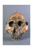 Reconstruction of Skull of Paranthropus Boisei or Australopithecus Boisei Giclee Print