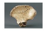 Reconstruction of Pelvic Bone of Australopithecus Africanus Giclee Print