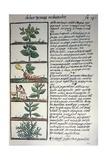 Medicinal Plants Giclee Print by Bernardino De Sahagun