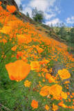 Grand Poppy Landscape Revisited, Merced Canyon Photographic Print by Vincent James