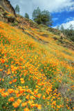 Poppy Hillside at Merced River Canyon Photographic Print by Vincent James