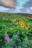 Scene at Rowena Flower Field, Columbia River Gorge Photographic Print by Vincent James