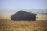 Bison and Mist Landscape, Yellowstone National Park Photographic Print by Vincent James