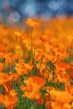 Golden Riverside Poppies (Full Size), Merced River Canyon Photographic Print by Vincent James