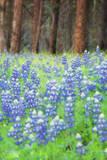 Blue Bonnets at Wawona, Yosemite National Park Photographic Print by Vincent James