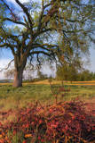 Spring Oak Scene, Central Valley, California Photographic Print by Vincent James