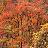 Fall Tree Design, Zion National Park Photographic Print by Vincent James