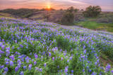 Lupine Sunset at Table Mountain, Northern California Photographic Print by Vincent James
