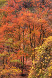Fall Tree Design (Full), Zion National Park Photographic Print by Vincent James
