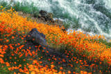 Poppies by the Merced River, Merced River Canyon Photographic Print by Vincent James