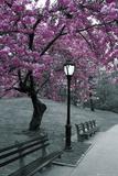 Central Park - Blossom Pósters