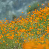Scene of Riverside Poppies, Merced River Canyon Photographic Print by Vincent James