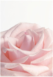 Powder Pink Rose I Affiches