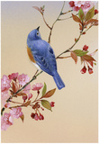 Blue Bird on Cherry Blossom Branch Poster