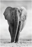 Elephant Plakat
