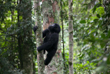 A Young Gorilla Climbs a Tree in the Impenetrable Forest Photographic Print by Eric Kruszewski
