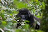 An Adult Gorilla Rests on the Ground in Dense Vegetation of the Impenetrable Forest Photographic Print by Eric Kruszewski
