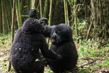 Two Young Aggressive Mountain Gorillas, Gorilla Gorilla Beringei, Play and Fight in a Forest Photographic Print by Eric Kruszewski