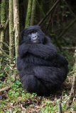 An Adult Mountain Gorilla, Gorilla Gorilla Beringei, Rests in a Bamboo Forest Photographic Print by Eric Kruszewski