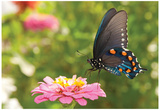 Green Swallowtail Butterfly Feeding On A Pink Zinnia In Sunny Summer Garden Prints