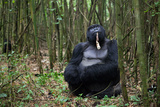 A Male Silverback Mountain Gorilla, Gorilla Gorilla Beringei, Eating in a Bamboo Forest at Rest Photographic Print by Eric Kruszewski