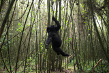 Using its Mouth, Teeth and Hand, a Young Mountain Gorilla Hangs from a Vine in a Bamboo Forest Fotografisk tryk af Eric Kruszewski